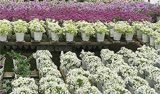 Country Arbors Annuals